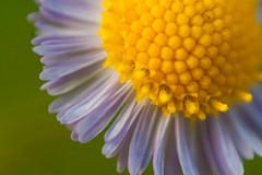 Beyond 1:1 (Ms all del 1:1) (Samuel Santiago) Tags: yellow micro wildflower manualfocus notripod canon40d 21macro tamron24mmf25adaptall reversemountadapterring