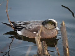 American Wigeon 2 ( breeding) (geodeos) Tags: male bird nature animal adult anas americanwigeon anatidae breedingplumage anseriformes anasamericana ducksgeeseswans ducksgeeseswansscreamersmagpiegeese