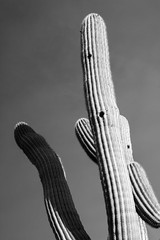 Saguaro (EvanJawnson) Tags: arizona cactus bw white black art nature giant 50mm nikon desert tucson holes artsy saguaro d5200
