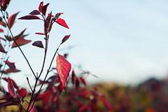 Crimson (Yuli Mitsner) Tags: autumn sunset ontario canada colour fall colors crimson leaves maple
