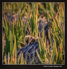 Bitó comú (Botaurus stellaris) Eurasian bittern (Sueca, Valencia, Spain) (Rafel Ferrandis) Tags: au hdr sueca marjal oroval eos7dmkii ef100400mmf4556lii