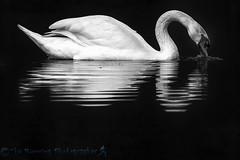 Mute Swan (Steve Nelmes Photography) Tags: birds waterbird avian muteswan canon14xteleconverter canon1dx stevenelmesphotography canon100400ismk2
