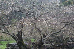 DSC03001 (mb10001114) Tags: white flower 50mm nikon sony plum taiwan  nikkor dslr   plumflower  nantou    nikkorsc50mmf14   oldlens    nex5t xinyicountry