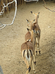 Gazelle Queue (becklerdeb) Tags: gazelle scavenger7 ansh67