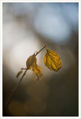 Questione di luce 3 (Outlaw Pete 65) Tags: light macro nature leaves closeup foglie italia branch colours natura ramo colori lombardia luce sigma105mm nikond600 cellatica