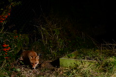 Visitor in the Night (Ben Duursma) Tags: uk winter light cute nature animal night corner fence project garden mammal nikon berries darkness ben wildlife flash january young special fox british curious visitor hertfordshire contrst youngphotographers vulpes duursma d7000