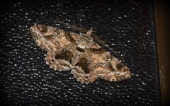 Cleora illustraria (dustaway) Tags: nature night australia lepidoptera queensland geometridae ennominae arthropoda tamborinemountain insecta sequeensland cleora australianmoths cleoraillustraria