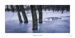 Trees on Ice (baldwinm16) Tags: trees winter reflection ice nature weather season landscape outside outdoors frozen twilight midwest quiet dusk january peaceful calm environment marsh forestpreserve habitat tranquil wetland frozenpond winterlandscape winterscene
