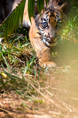 Closet (Oddernod) Tags: nature animal zoo eyes sandiego outdoor wildlife tiger hunting bigcat daytime hunt babyanimal wideeyes tamron70300 babytiger animaleyes babybigcat sandiegosafaripark