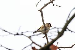 Chardonneret lgant (Carduelis carduelis) (yann.dimauro) Tags: france animal fr extrieur oiseau rhone faune rhnealpes givors ornithologie