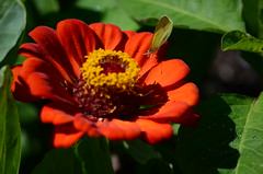 Butterfly (ugacostarica) Tags: flower nature butterfly costarica wildlife zinnia ugacr ugacostarica