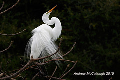 Displaying Great White Egret (Let there be light (A.J. McCullough)) Tags: birds texas egret rookery displaying texasbirds houstonaudubon smithoaksrookery