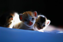 Kittens [   ] (MRF Rayhan) Tags: pet cute eye animal cat kitten flickr pretty adorable flickriver