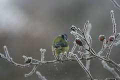 IMG_28962 (IdaAsplund) Tags: blue winter snow bird birds animal animals season vinter tit mes sn bluetit bl fglar djur fgel blmes rstid
