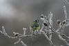 IMG_28962 (IdaAsplund) Tags: blue winter snow bird birds animal animals season vinter tit mes snö bluetit blå fåglar djur fågel blåmes årstid