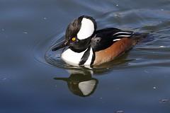 Drake Hooded Merganser (fethers1) Tags: duck ngc npc waterfowl hoodedmerganser coloradowildlife belmarpark belmarparklake