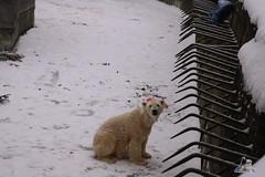 Eisbr Fiete im Zoo Rostock 23.01.2016  014 (Fruehlingsstern) Tags: vienna zoo polarbear vilma eisbr erdmnnchen fiete zoorostock geparden baumknguru canoneos750 tamron16300