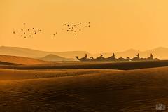 Al dhafra festival (Shyjith Kannur Photography) Tags: race desert dunes culture arab camels camelrace westernregion aldhafra dafra