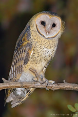 Lechuza. Tyto alba. Barn Owl (Daniel Sziklai G.) Tags: chile birds barn alba aves owl lechuza tyto noviciado
