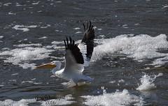 Pelican Flying_3860 (Porch Dog) Tags: winter bird nature kentucky wildlife january feathers pelican fx avian tennesseeriver 2016 garywhittington nikond750 nikon200500mm