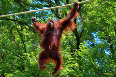 Sky Walk by Orangutan of Tama Zoo : 多摩動物公園オラウータンのスカイウォーク (Dakiny) Tags: summer animal japan zoo tokyo august orangutan ape hino 2012 tamazoo