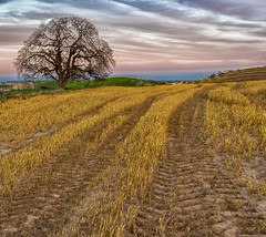 RHM_1273-Pano-1343.jpg (RHMImages) Tags: california sunset panorama tree field lines clouds landscape us nikon unitedstates rows brentwood d810