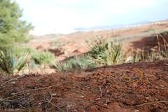 Buthus sp (Mathias Dezetter) Tags: wild naturaleza nature animal fauna jaune wildlife scorpio scorpion morocco maroc paysage animaux fort sauvage faune arachnide brousse predateur pinde arthropode naturalisme buthus invertbr