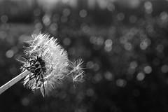 blowing in the wind  (campodarsego - padua, italy) (bloodybee) Tags: bw music flower macro nature fly wind bokeh blowing dandelion seeds vegetal taraxacum taraxacumofficinale flyingaway blowinginthewind 365project