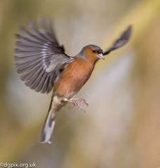 Chaffinch (Danny Gibson) Tags: bird nature flying wildlife flight finch avian highspeed chaffinch naturephotography wildlifephotography canon400mmf56l canoneos7d chaffinchinflight dgpixorguk