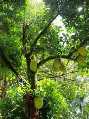 Jackfruit (lecrajane) Tags: tree fruit jackfruit nangka