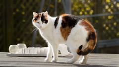 Nele (No_Water) Tags: cat calico katze nele