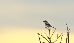 Great Grey Shrike during Sunset (markusbeyer1) Tags: sunset bird grey pastel shrike laniusexcubitor canon2xextender ostalb raubwrger canon400mmf28 canon5dsr