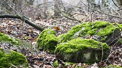 2016-02-05_08-47-47 (wiktor_furmaniak) Tags: leaves moss stones sony 85mm manualfocus samyang naturecollection manuallenses naturecomposition yourbestoftoday absolutelyperrrfect alpha65
