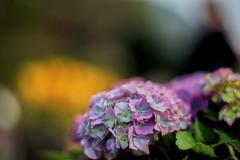 Hydrangea macrophylla (Eddy Tsai) Tags: flower color macro garden colours bokeh taiwan vivid hydrangea  viola     macrophylla