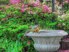 Stashing the Nut (clarkcg photography) Tags: pink red squirrel flowerpot azalea nut