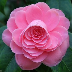Pink Camillia (magulok7) Tags: pink flowers macro nature closeups naturephotography macrophotography camillia