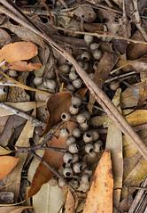 Aussie bush pearls (Jutta Sund) Tags: leaves forest sticks bush australia forestfloor
