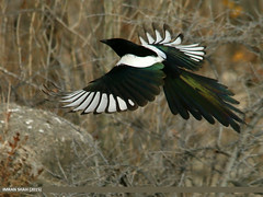 Black-billed Magpie (Pica hudsonia) (gilgit2) Tags: pakistan birds fauna canon geotagged wings wildlife feathers sigma tags location species hunza category avifauna picahudsonia aliabad gilgitbaltistan sigma150500mmf563apodgoshsm imranshah canoneos70d blackbilledmagpiepicahudsonia gilgit2