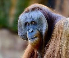 Majestic Orangutan #2 (tvdflickr) Tags: atlanta animal zoo nikon orangutan zooatlanta atlantazoo d610 nikond610 photosbytomdriggers photobytomdriggers thomasdriggersphotography