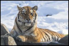 Bronx Zoo Tiger (KRIV Photos) Tags: tiger bronxzoo siberiantiger amurtiger