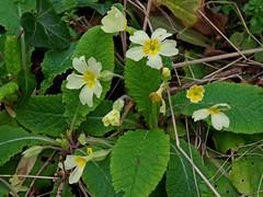 1217-34L (Lozarithm) Tags: flora wildflowers 1770 primroses studley calne k50 smcpda1770mmf4alifsdm pentaxzoom