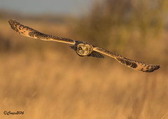 Coming at you!!!!!! (coopsphotomad) Tags: bird nature animal reeds bokeh wildlife flight feathers raptor shortie birdinflight shortearedowl