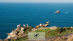 Sea goats (Acrocephalus Photography) Tags: spain galicia es fisterra