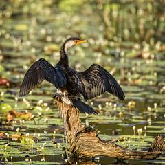a little pied-cormorant (Fat Burns ☮) Tags: bird fauna waterbird cormorant bribieisland australianbird littlepiedcormorant australianfauna microcarbomelanoleucos buckleyshole nikond750 sigma150600mmf563dgoshsmsports sigmatc140114xteleconverternik