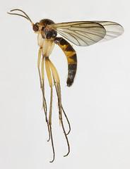 Saigusaia flaviventris, Abergwynant, North Wales, May 2015 (janetgraham84) Tags: flaviventris mycetophilidae saigusaia