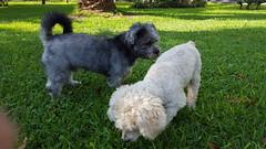 Lima - Parque Eduardo Villena Rey (Santiago Stucchi Portocarrero) Tags: miraflores lima perú santiagostucchiportocarrero parqueeduardovillena ginger hund perro can cane chien dog hound