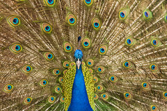 Zoo_20160320_009 (falconn67) Tags: bird animal animals boston canon feathers peacock plumage franklinpark franklinparkzoo 24105l 5dmarkii