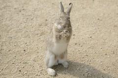 rabbit #7 (Y.Hassy) Tags: rabbit animal