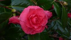 Rouen - Jardin des Plantes - Fleurs de camélia (jeanlouisallix) Tags: park france flower nature seine fleurs garden rouen maritime normandie botanique parc plantes haute camélia camélias