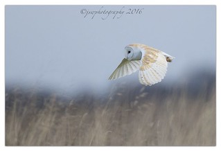 Barn Owl - Happy Mothers Day